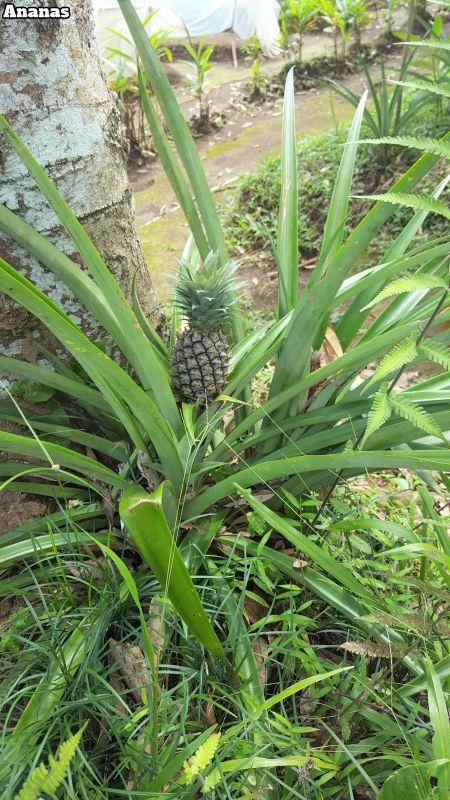 Bali Farm Cooking. Ananaspflanze.