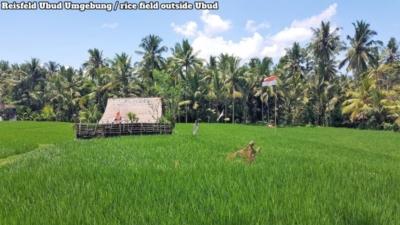 Ubud Surroundings - Umgebung. Rice fields, a few houses, tropical rainforest. Reisfelder, paar Häuser, tropischer Regenwald.
