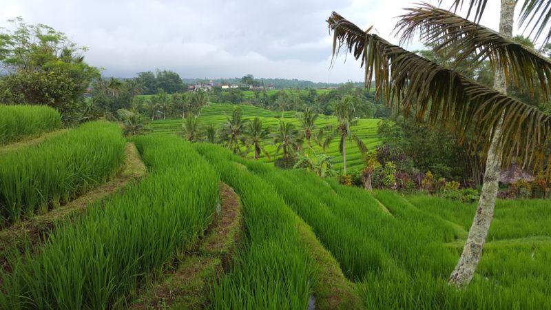 Jatiluwih Reisterrassen. Terrassenartige Reisfelder im Vordergrund und im Hintergrund dazwischen ein paar Palmen.