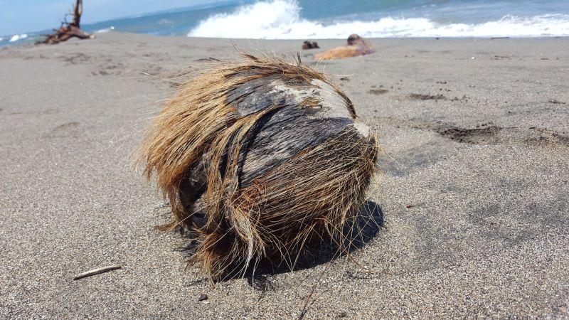 Kokosnuss am Strand von Canggu. Alte, zerfranste Kokosnuss am Strand in Nahaufnahme. Im Hintergrund sieht man das Meer.